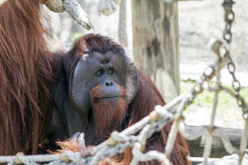 O orangotango olha à esquerda imagens de stock