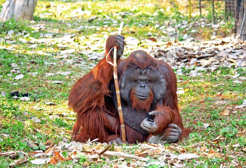 Download Orangotango imagem de stock. Imagem de coma, biped, expressive - 29849373