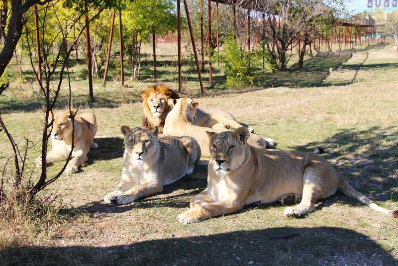 O orgulho dos leões descansa no parque do safari imagens de stock