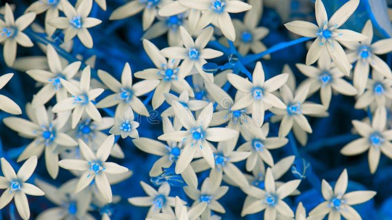O Ornithogalum branco (lírio da grama) floresce com folhas azuis (o prolongamento do 16:9) imagens de stock