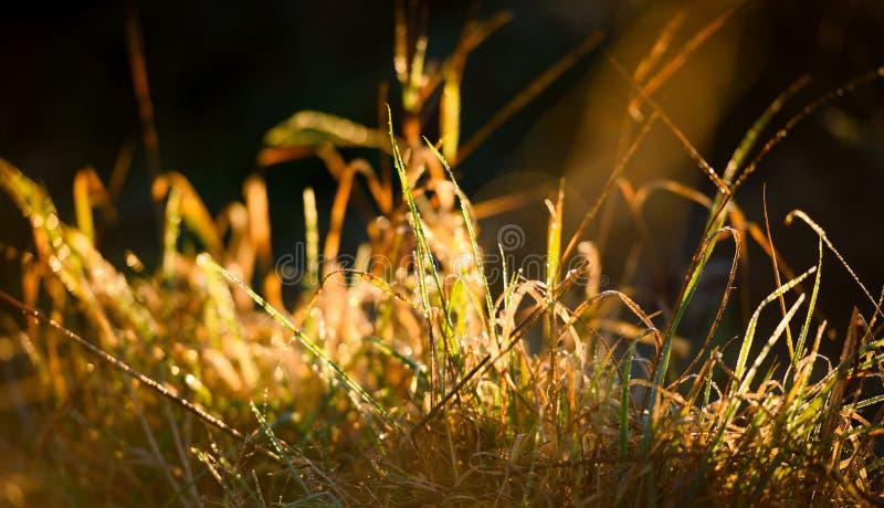 O orvalho do close up cobriu grassblades no alvorecer fotos de stock