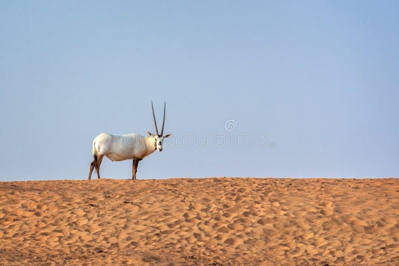 O oryx árabe, igualmente chamou o leucoryx branco do Oryx do oryx no deserto perto de Dubai, UAE imagem de stock