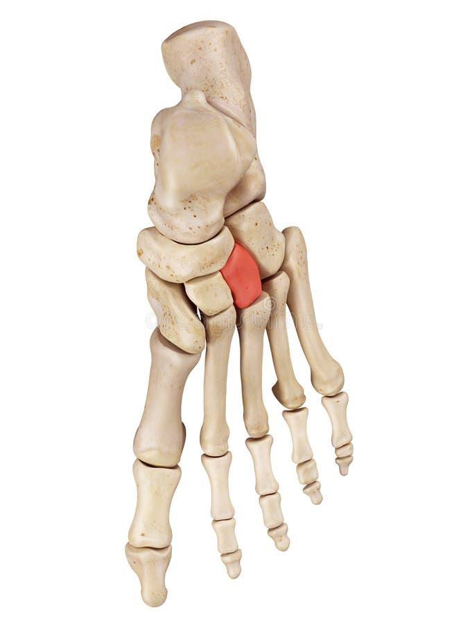 O osso cuneiforme lateral ilustração stock