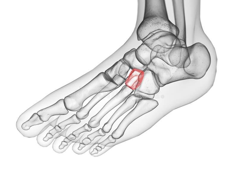 O osso cuneiforme lateral ilustração do vetor
