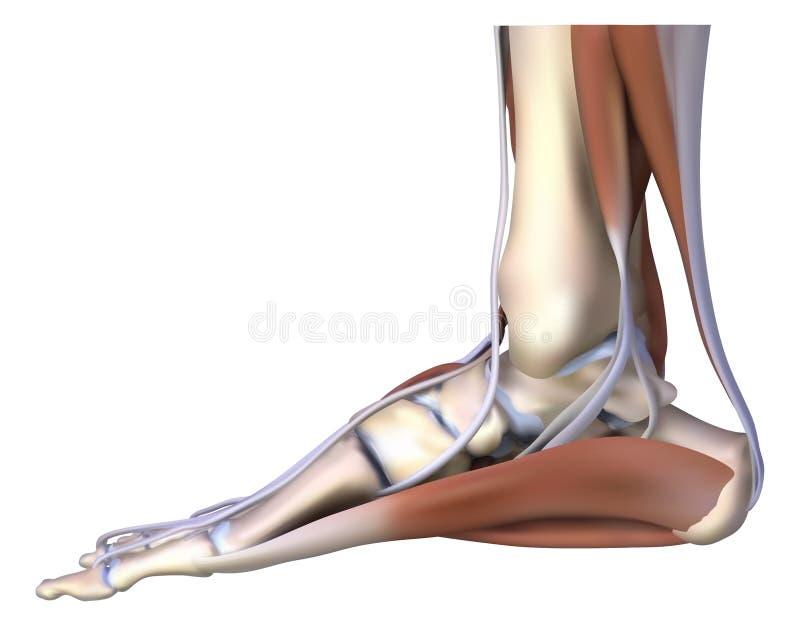 O osso de pé ilustração stock