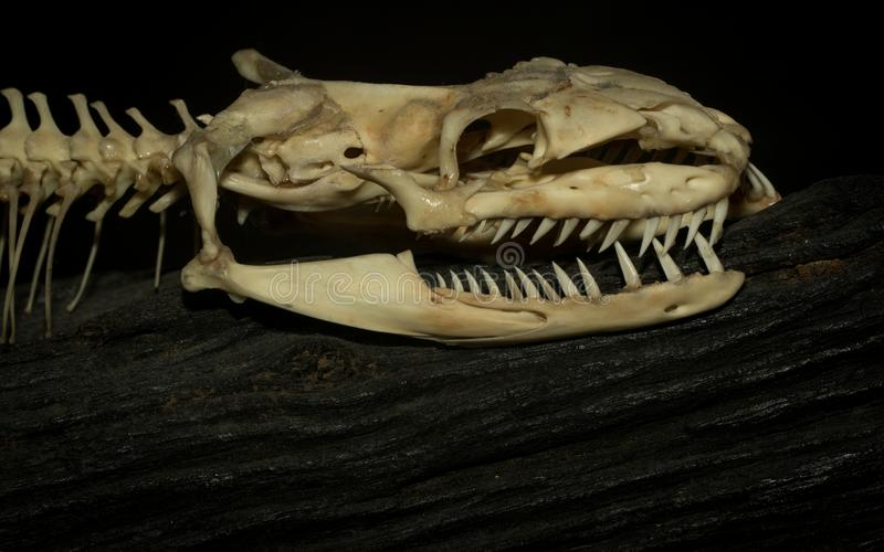O osso de uma serpente imagem de stock royalty free