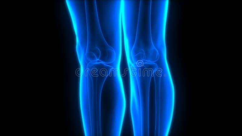 O osso humano do joelho do sistema de esqueleto articula a anatomia ilustração stock