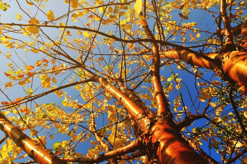 O outono amarelou a árvore de cereja do pássaro - paisagem ensolarada do outono sob a luz solar do outono imagens de stock