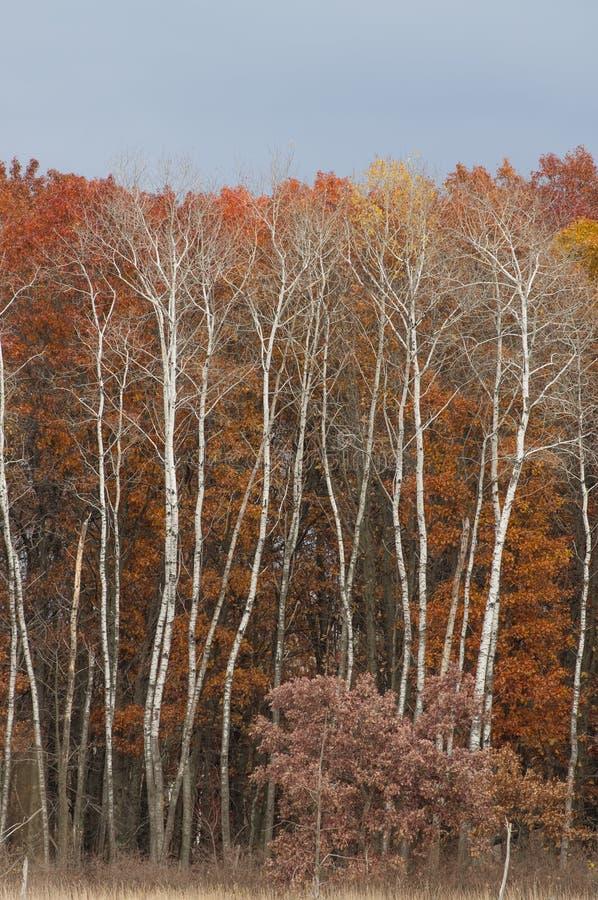 O outono coloriu as folhas vermelhas, alaranjado, amarelo, vermelho, marrom na floresta da árvore de vidoeiro branco na área dos  imagens de stock royalty free