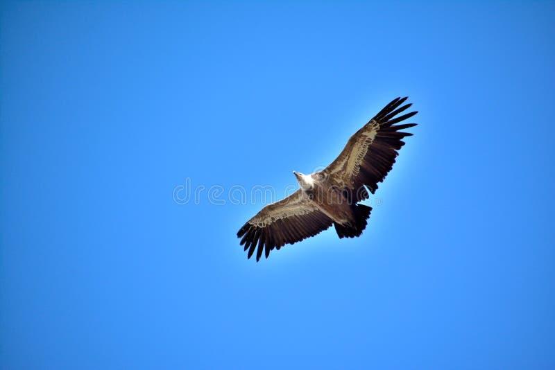 O Overflight de um abutre de griffon, asas abre largamente Voo livremente fotos de stock