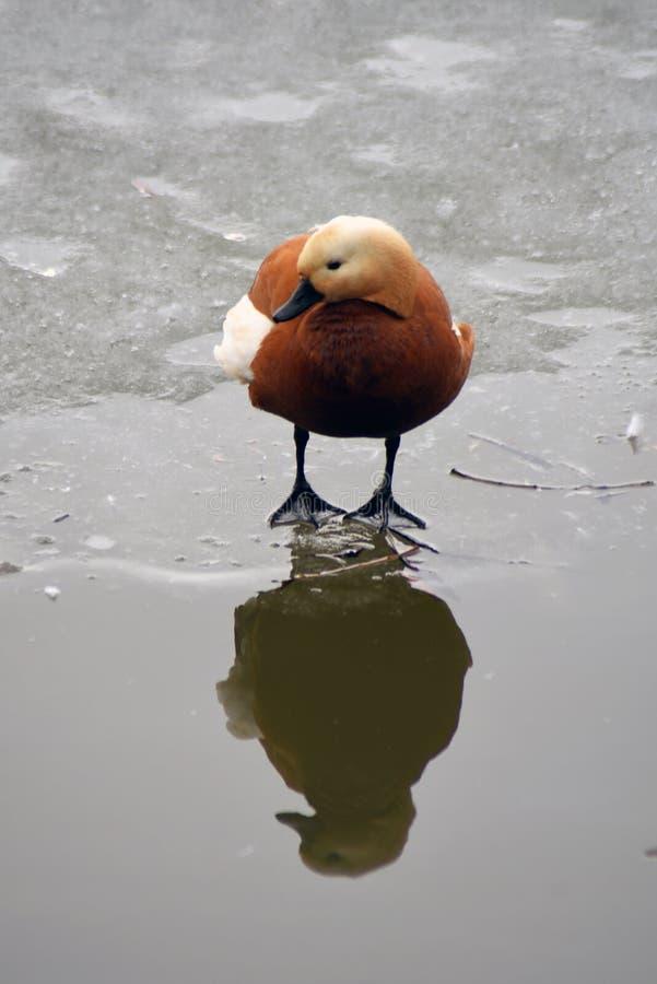 O pássaro alaranjado limpa suas penas em uma lagoa imagem de stock royalty free