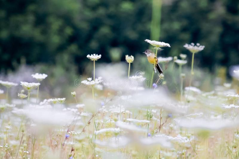 O pássaro amarelo sentou-se em uma flor fotos de stock