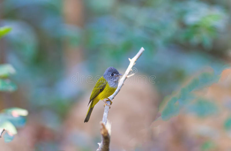 O pássaro bonito Cinzento-dirigiu o Canário-papa-moscas ou Cinzento-dirigiu o papa-moscas (o ceylonensis de Culicicapa) fotos de stock royalty free
