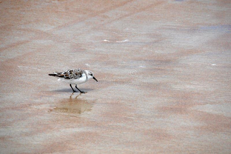 O pássaro Brown-e-branco minúsculo escolhe partes de alimento da areia fotografia de stock royalty free