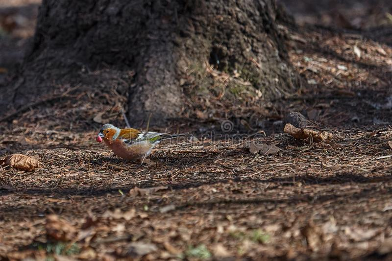 o pássaro Cinzento-vermelho do passarinho anda através do parque da mola e procura o alimento fotografia de stock