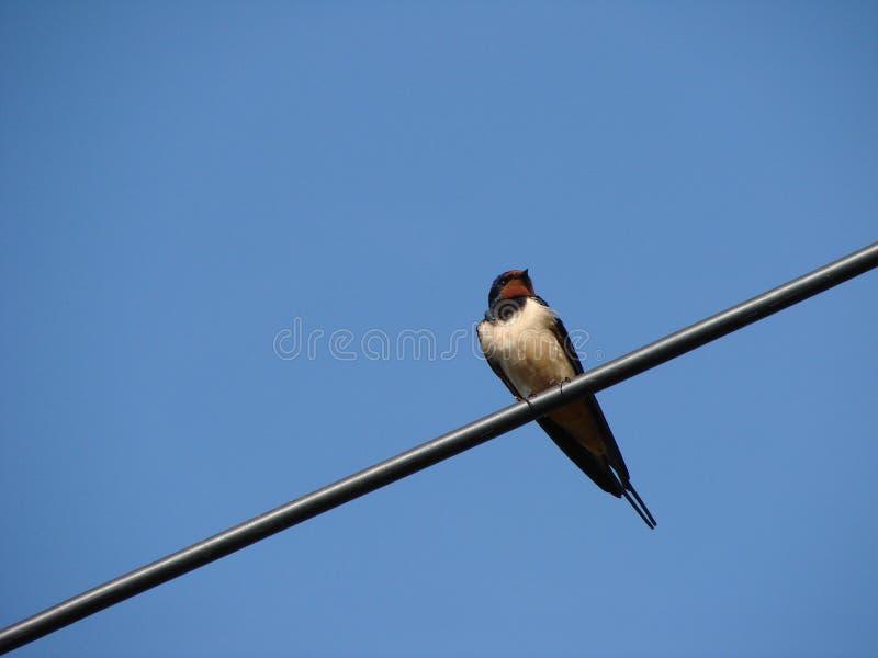 O pássaro da andorinha foto de stock