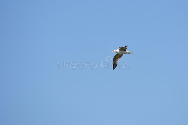 O pássaro da gaivota está voando no céu azul fotos de stock royalty free