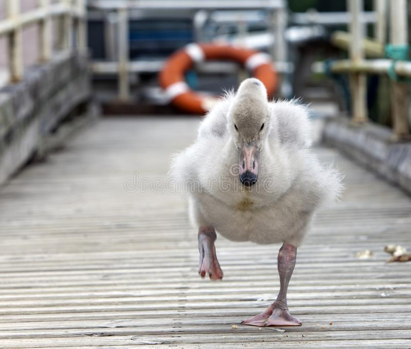 O pássaro de bebê de uma cisne na amarração imagens de stock