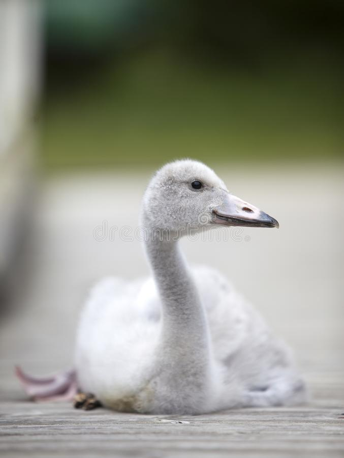 O pássaro de bebê de uma cisne na amarração foto de stock