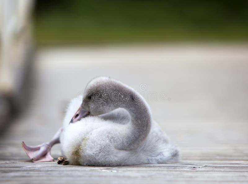 O pássaro de bebê de uma cisne na amarração imagem de stock