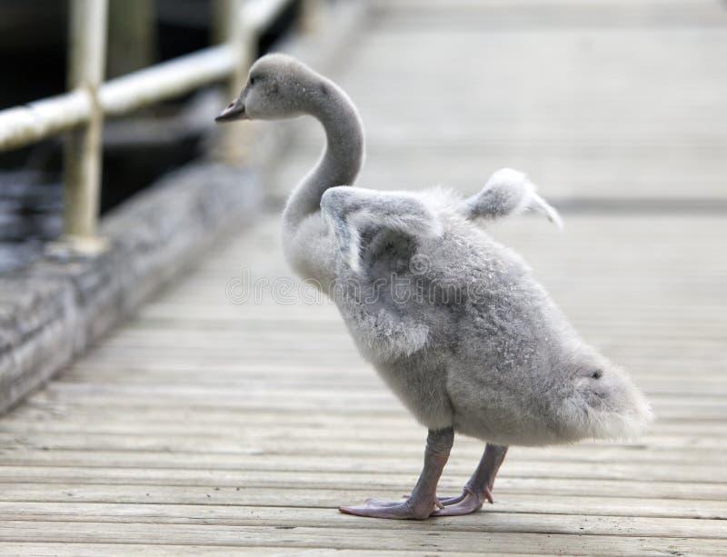 O pássaro de bebê de uma cisne na amarração fotos de stock