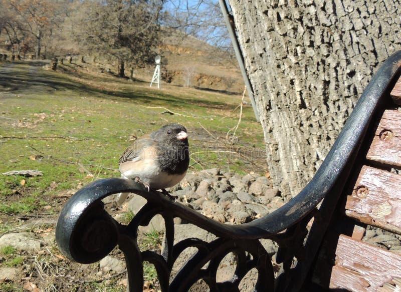 O pássaro de olhos pretos do junco de Oregon empoleira-se no braço de um banco de parque foto de stock royalty free