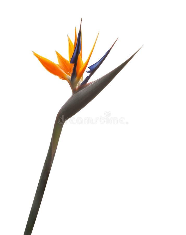 O pássaro de paradize o Strelitzia da flor isolado em um fundo branco imagem de stock royalty free