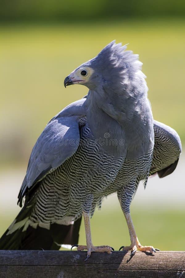 O pássaro de Pray Posição africana do falcão do harrier Natureza magnífica imagem de stock royalty free