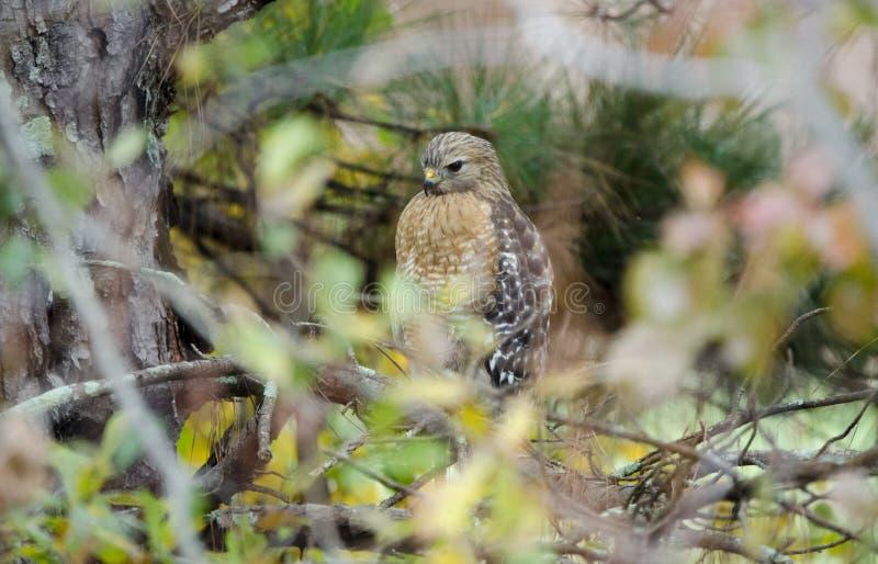 O pássaro de rapina Vermelho-empurrou o falcão empoleirado na árvore fotos de stock
