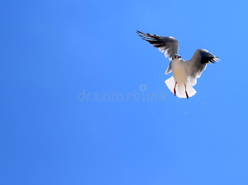 O pássaro de uma gaivota voa contra o céu azul imagens de stock royalty free
