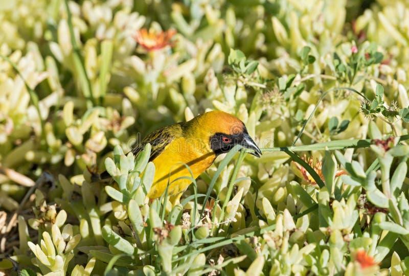 O pássaro de Wever recolhe o material de construção para seu ninho novo foto de stock