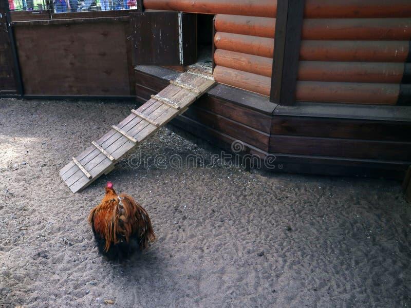 O pássaro do galo no prado perto da casa lá é uma jarda das aves domésticas na exploração agrícola imagem de stock royalty free