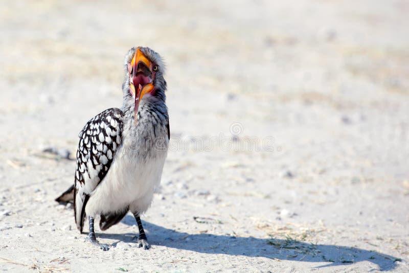 O pássaro do Hornbill com o bico amarelo brilhante está no fim à terra acima no safari no parque nacional de Chobe, Botswana, Áfr foto de stock royalty free