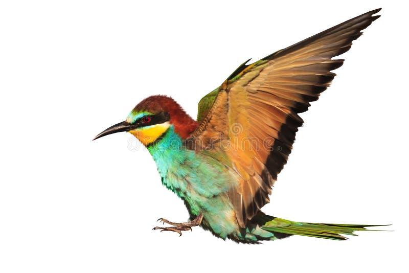 O pássaro do paraíso é isolado em voo no branco foto de stock royalty free