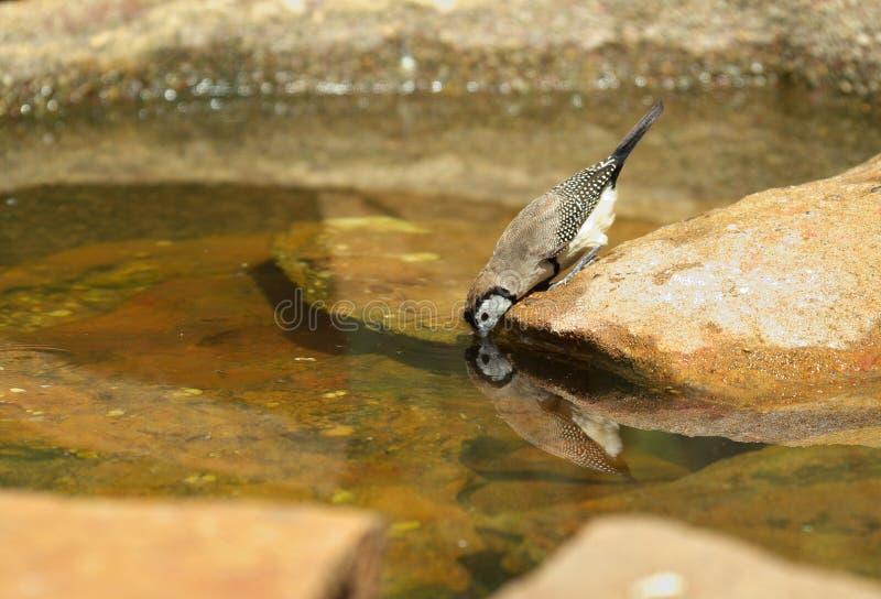 o pássaro do passarinho começ uma bebida foto de stock
