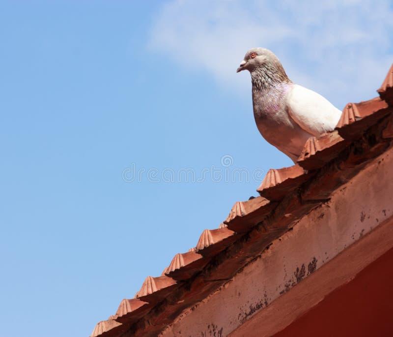 O pássaro do pombo empoleira-se no telhado com fundo do céu azul fotos de stock