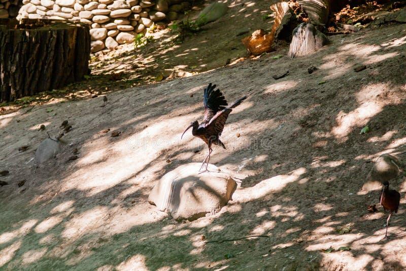 O pássaro dos íbis espalha suas asas imagens de stock royalty free