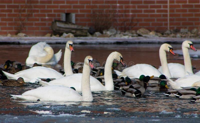 O pássaro e o pato brancos da cisne em um lago de uma cidade estacionam imagens de stock royalty free