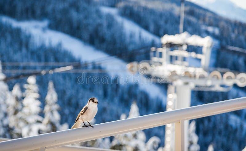 O pássaro empoleirou-se em uns trilhos com uma torre da telecadeira no fundo foto de stock