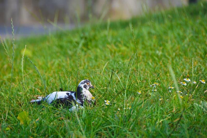 O pássaro ferido mergulhou encontrando-se na grama verde imagens de stock