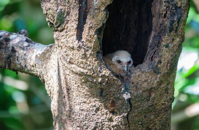 O pássaro manchou a coruja do pintainho dentro do ninho no furo da árvore imagem de stock
