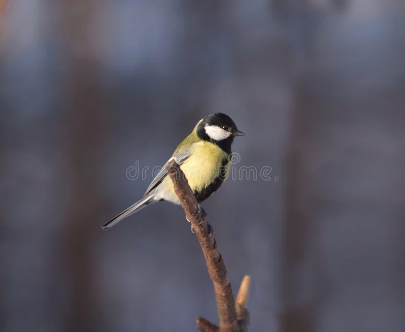 O pássaro pequeno do melharuco senta-se na filial do pinho fotografia de stock royalty free
