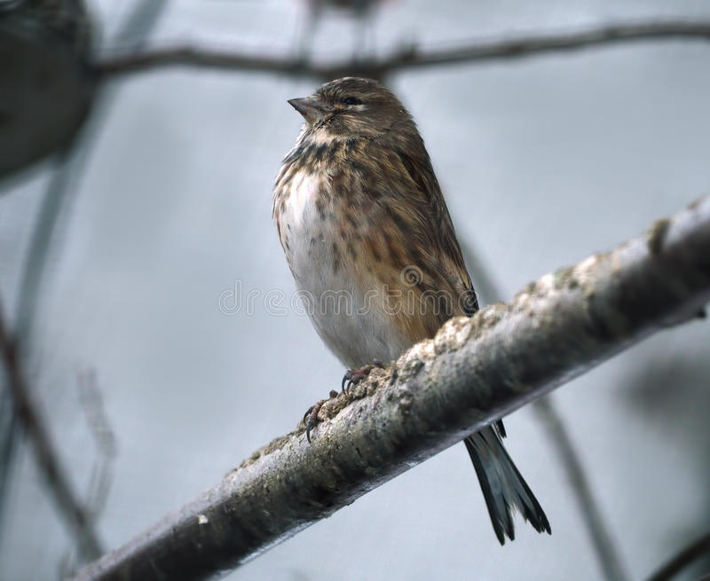 O pássaro pequeno pequeno mas muito orgulhoso olha como o pardal imagens de stock