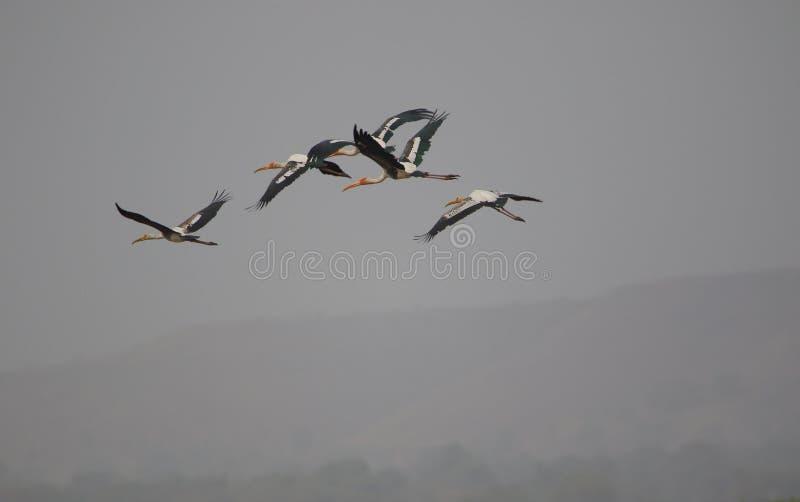 O pássaro pintado da cegonha está voando imagens de stock royalty free