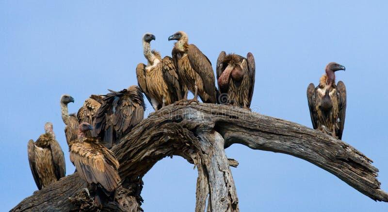 O pássaro predatório está sentando-se em uma árvore kenya tanzânia fotografia de stock royalty free