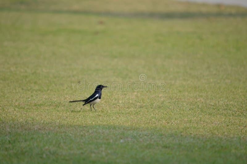 O pássaro preto fotos de stock