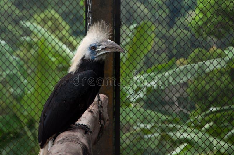 O pássaro preto com um bico grande e um topete do branco coroou o hornbill fotografia de stock royalty free