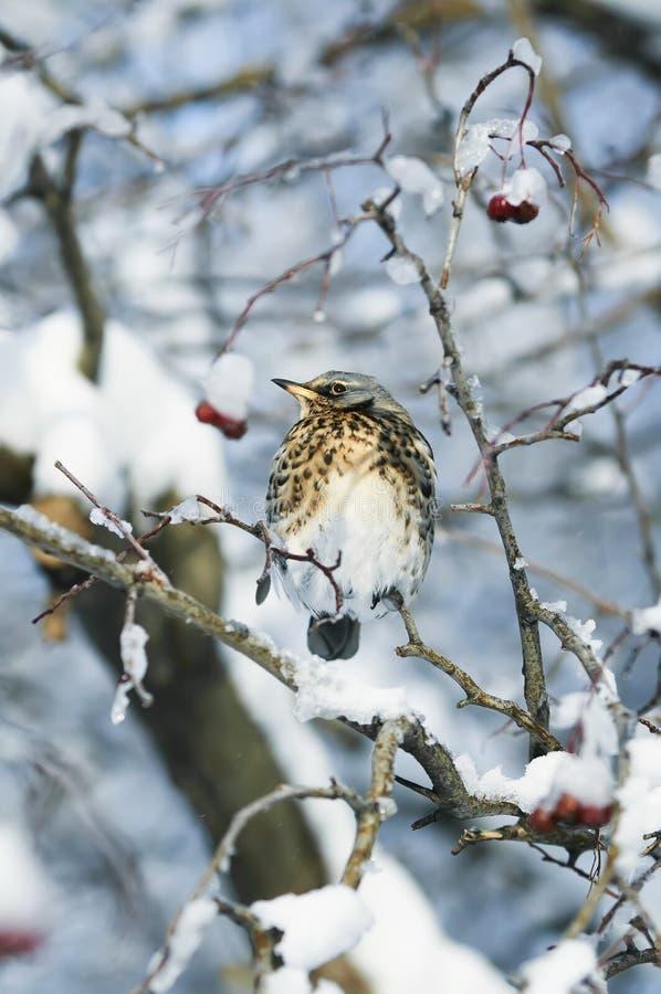 o pássaro salpicado do tordo que senta-se em um ramo com suculento seja fotografia de stock royalty free