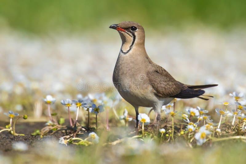 O pássaro surpreendente colocou um colar o pratincola pratincole do Glareola do homem do Castilla-La da região fotografia de stock