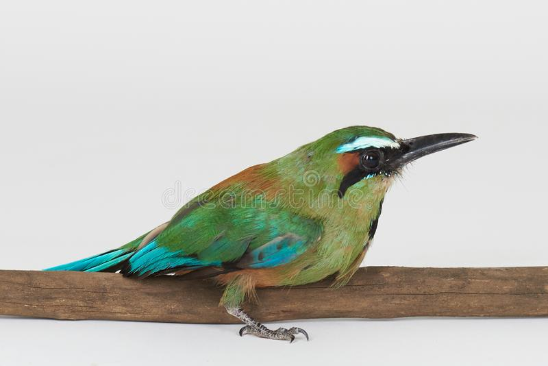 O pássaro verde senta-se no ramo de árvore fotos de stock royalty free